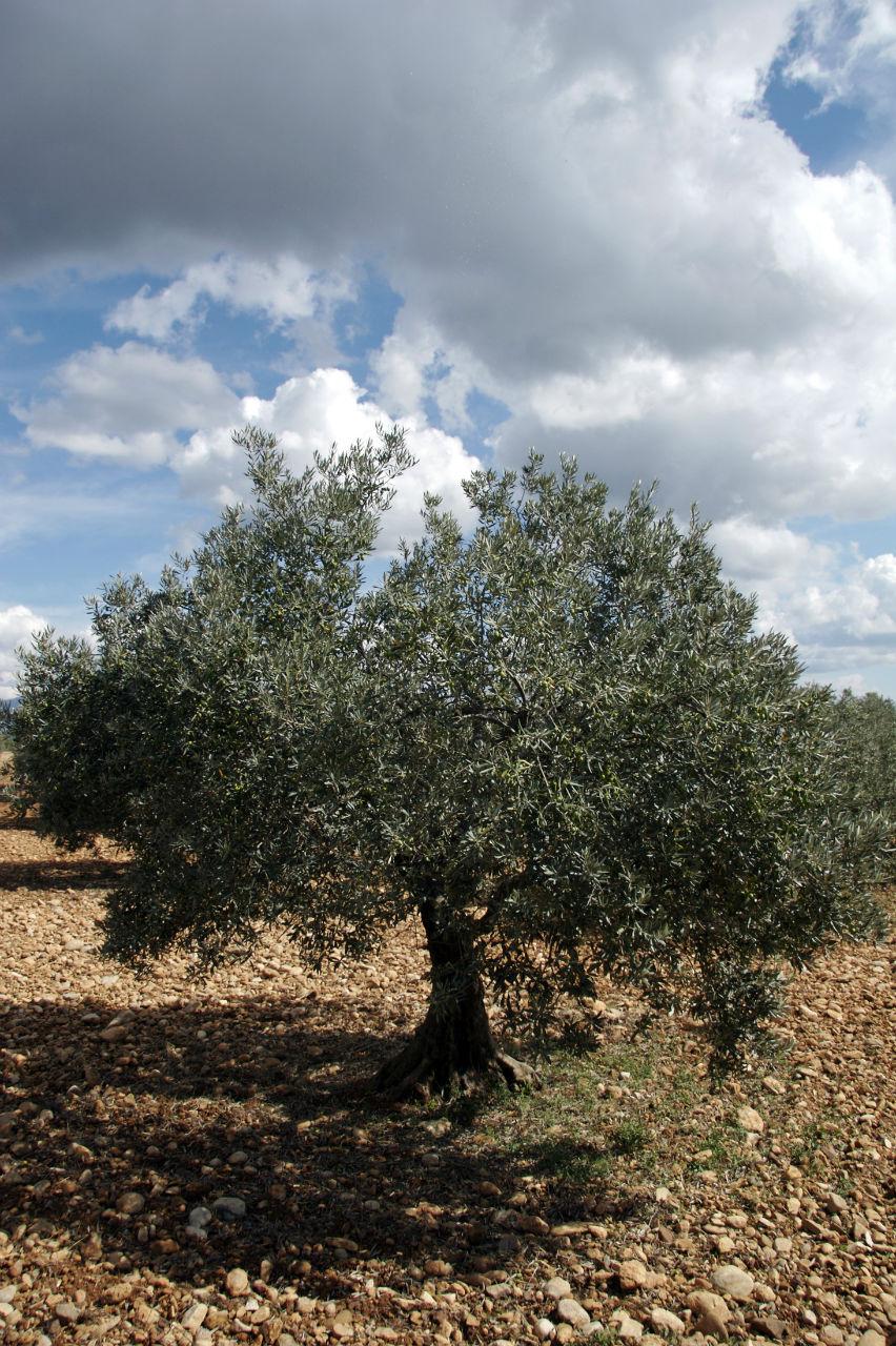 On trouve beaucoup d'oliviers centenaires en Provence